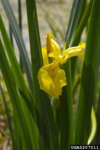 yellowflagiris